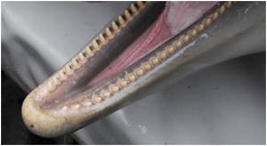 gebit dolfijn tanden