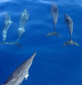 jagende dolfijnen